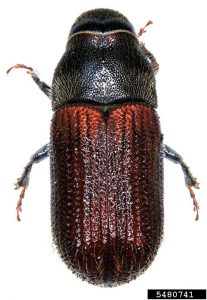 Spruce Beetle Adult Top View