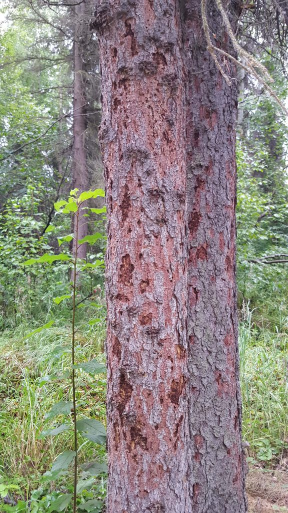 Condition of bark on a dead spruce after a spruce beetle attack.