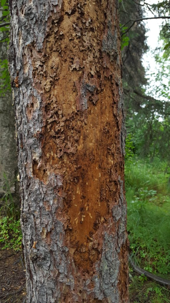 Evidence of woodpecker activity on a spruce beetle-infested spruce tree.