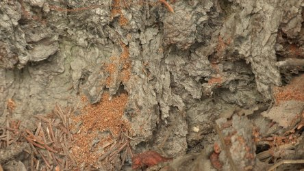 Boring dust accumulating at the base of a tree. Image by: Jeff Fay, UAF-Cooperative Extension Service.